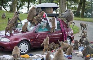 baboons_01